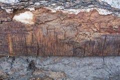 Una textura natural macra de la corteza de abedul del primer Imagen de archivo