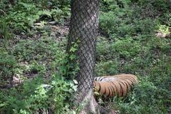 Una tigre Fotografie Stock Libere da Diritti