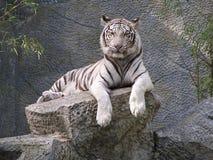 Una tigre bianca fissare Immagini Stock Libere da Diritti