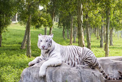 Una tigre che si trova nella pietra Fotografia Stock