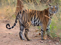 Una tigre di Bengala femminile che esamina la macchina fotografica immagine stock
