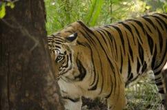 Una tigre di Bengala femminile che esamina la macchina fotografica fotografie stock libere da diritti