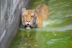 Una tigre di Bengala reale allo zoo di Dacca prende il bagno per battere il calore caldo dell'estate Fotografie Stock