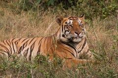 Una tigre di Sumatran sta trovandosi sull'erba Fotografie Stock Libere da Diritti