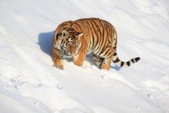 Una tigre siberiana selvaggia cammina su neve bianca immagini stock libere da diritti