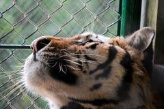 Una tigre in una gabbia Fotografia Stock