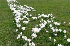 Una tira de muchos el azafrán blanca de la primavera florece en hierba verde Fotos de archivo