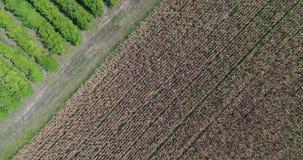 Una toppa verde nel campo di grano stock footage