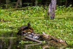 Una tortuga Amarillo-hinchada grande del resbalador (scripta del scripta de Trachemys) Imagen de archivo libre de regalías