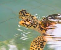 Una tortuga de mar Imagen de archivo libre de regalías