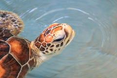 Una tortuga de mar Foto de archivo