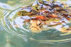 Una tortuga de mar Fotos de archivo libres de regalías