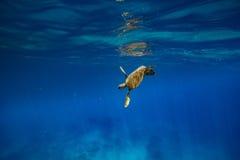 Una tortuga en el océano azul fotografía de archivo