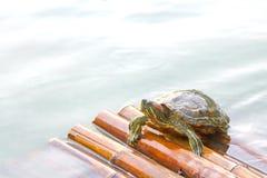 Una tortuga en la balsa de bambú en agua Fotos de archivo libres de regalías