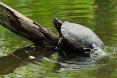 Una tortuga es control de un inicio de sesión el río imagen de archivo