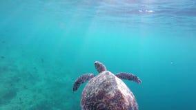 Una tortuga flota en la superficie del agua almacen de metraje de vídeo