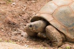 Una tortuga gigante fotografía de archivo libre de regalías
