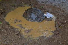Una tortuga gigante de Aldabra que empapa en un charco del agua después de fuertes lluvias Imagen de archivo libre de regalías