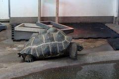 Una tortuga grande con un caparazón jorobado foto de archivo