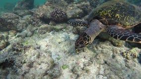 Una tortuga nada en un arrecife de coral almacen de video