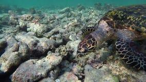 Una tortuga nada a través de los arrecifes de coral destruidos metrajes