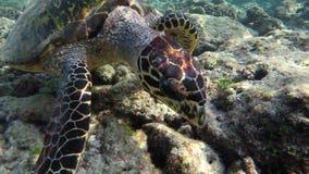 Una tortuga nada a través de un arrecife de coral almacen de video