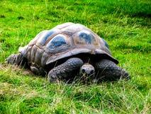 Una tortuga perezosa grande come la hierba en una posición de mentira foto de archivo