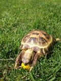 Una tortuga que come la flor Imagenes de archivo