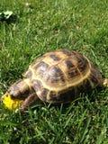 Una tortuga que come la flor Imagen de archivo