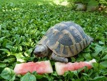 Una tortuga que come la sandía Foto de archivo libre de regalías