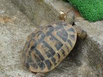 Una tortuga que intenta subir Imagen de archivo