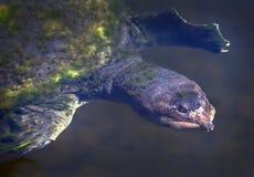 Retrato suave de la tortuga de la Florida Shell imagenes de archivo