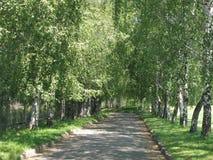 Una trayectoria de asfalto con los encintados con los abedules rubios que crecen a lo largo de ella en hierba verde con los abedu Fotografía de archivo