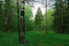 Una trayectoria de los abetos del bosque del abedul Imágenes de archivo libres de regalías
