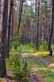 Una trayectoria en árboles delgados de un bosque del pino con las espinas dorsales Fotos de archivo