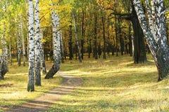 Una trayectoria en el bosque del otoño entre los abedules y los robles amarilleados Imagenes de archivo