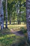 Una trayectoria en un bosque del abedul al río Oredezh en Vyritsa s soleado Imagen de archivo libre de regalías