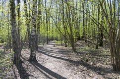 Una trayectoria en un día soleado del bosque del abedul en mayo Fotografía de archivo libre de regalías