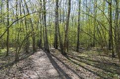 Una trayectoria en un día soleado del bosque del abedul en mayo Imagen de archivo libre de regalías
