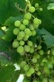 Una uva es una fruta, botánico una baya, de las vides arboladas de hojas caducas del género de planta de florecimiento foto de archivo libre de regalías