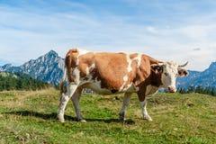 Una vaca abigarrada que se coloca en un prado Foto de archivo libre de regalías