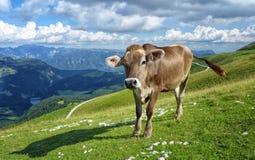 Una vaca alpina Imagen de archivo