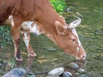 Una vaca bebe el río del agua La vaca blanco y negro joven sedienta bebe el agua del río de la montaña imágenes de archivo libres de regalías