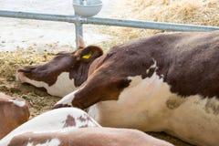 Una vaca blanco-marrón miente en el piso en la pluma Vaca enferma Diseas imagenes de archivo