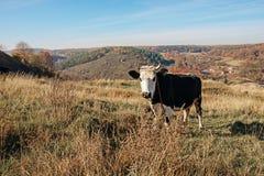 Una vaca blanco y negro de cuernos en una altura completa está pastando en el claro del otoño y está mirando fijamente la cámara  imagen de archivo