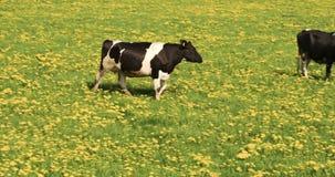 Una vaca blanco y negro que camina en la odisea 7Q del campo 4K FS700 almacen de video