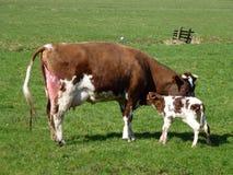 Una vaca con un becerro llevado justo imagen de archivo