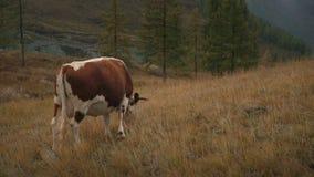 Una vaca de Brown que alimenta en hierba en The Edge del d3ia boreal de Forest In Siberian Mountains At almacen de video