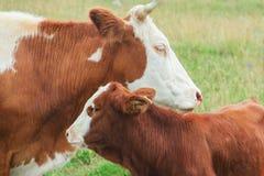Una vaca de la madre con su becerro joven Foto de archivo libre de regalías