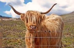 Una vaca de la montaña Imagen de archivo libre de regalías